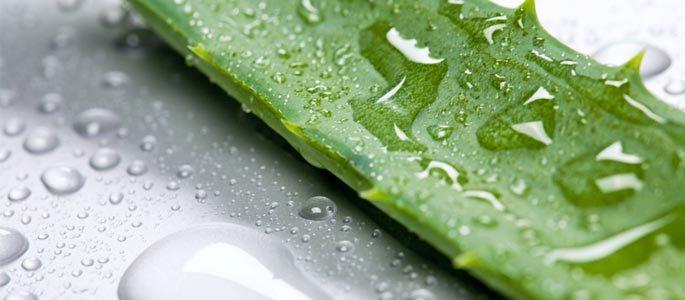алоэ лечебные свойства рецепты от гайморита