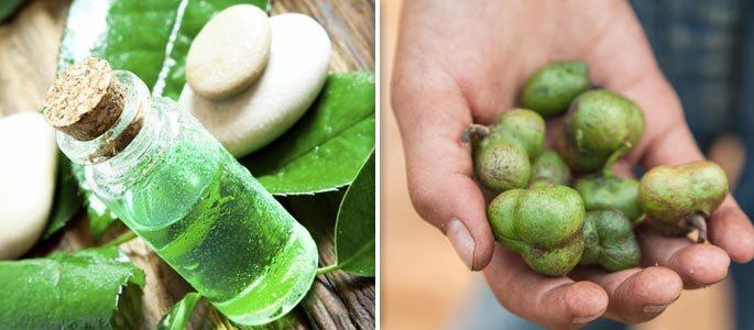 Плоды чая и масло чайного дерева