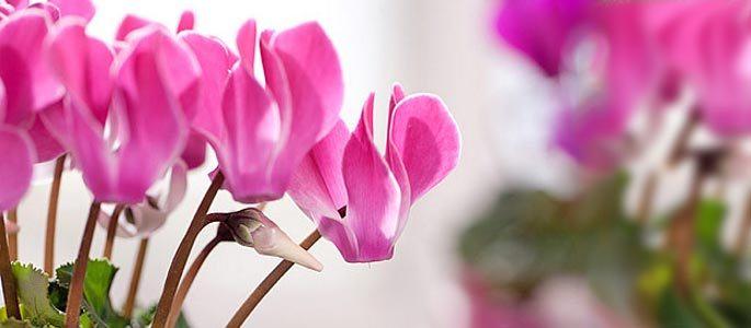 Цветок цикламена