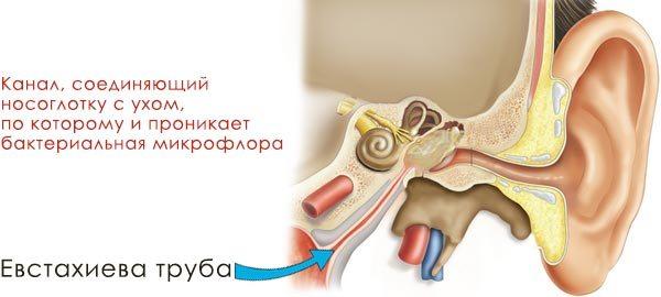 Схема соединения уха с глоткой