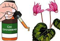 Цикламен от гайморита рецепты лекарственных капель и мази