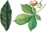 Лечение гайморита Лавровым листом и конским каштаном