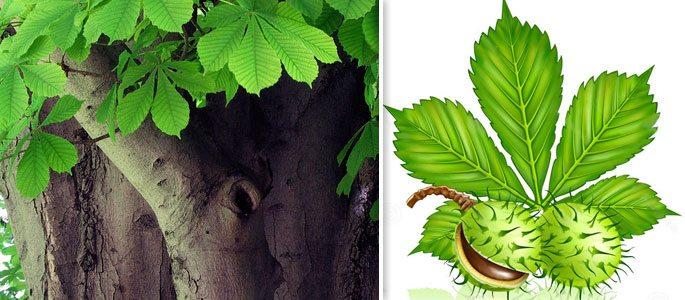 Дерево Конский каштан с плодом