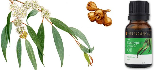 Листочки и масло эвкалипта